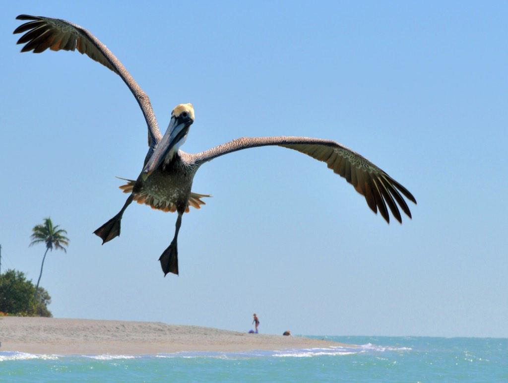 My photo today of brown pelican landing at Captiva Island, FL. @CaptivaSanibel @FtMyersSanibel #birdphotography http://t.co/X2Sq8tVNKQ