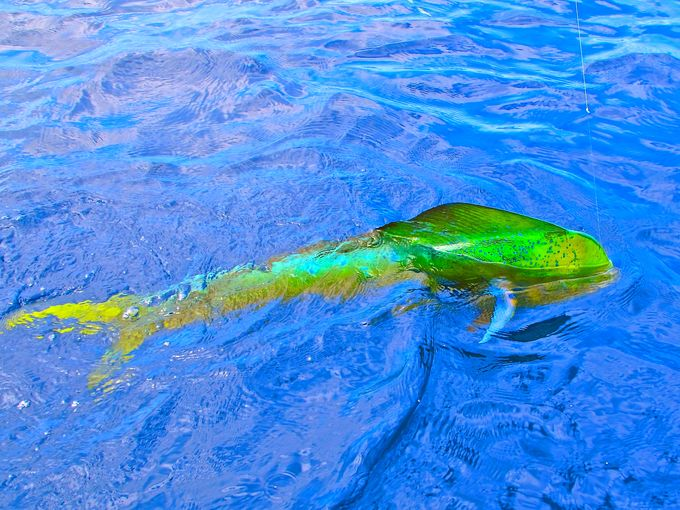 What's the catch? These monster mahi-mahi caught in the Bahamas are crazy: