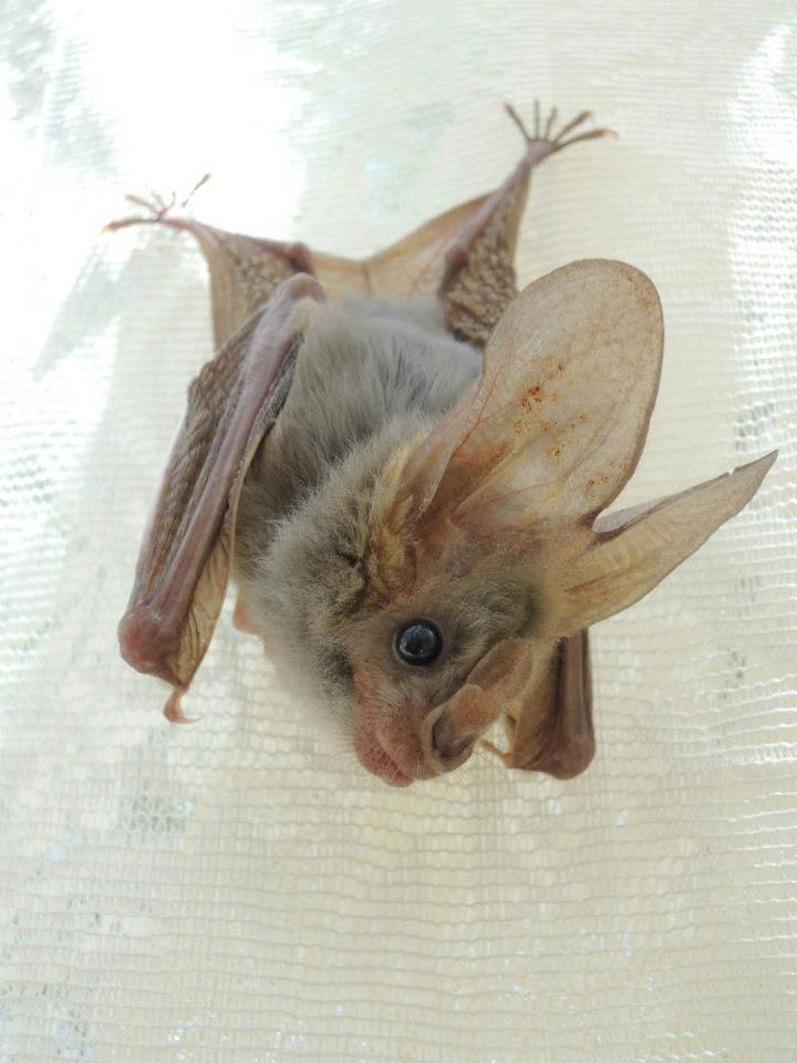 Bat Heart Little Heart-nosed Bat to