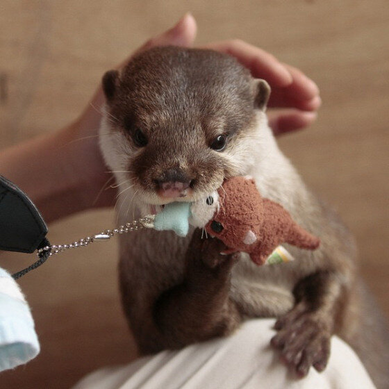 Anything cuter than a baby otter? DOUBT it! http://t.co/udr3aSDc