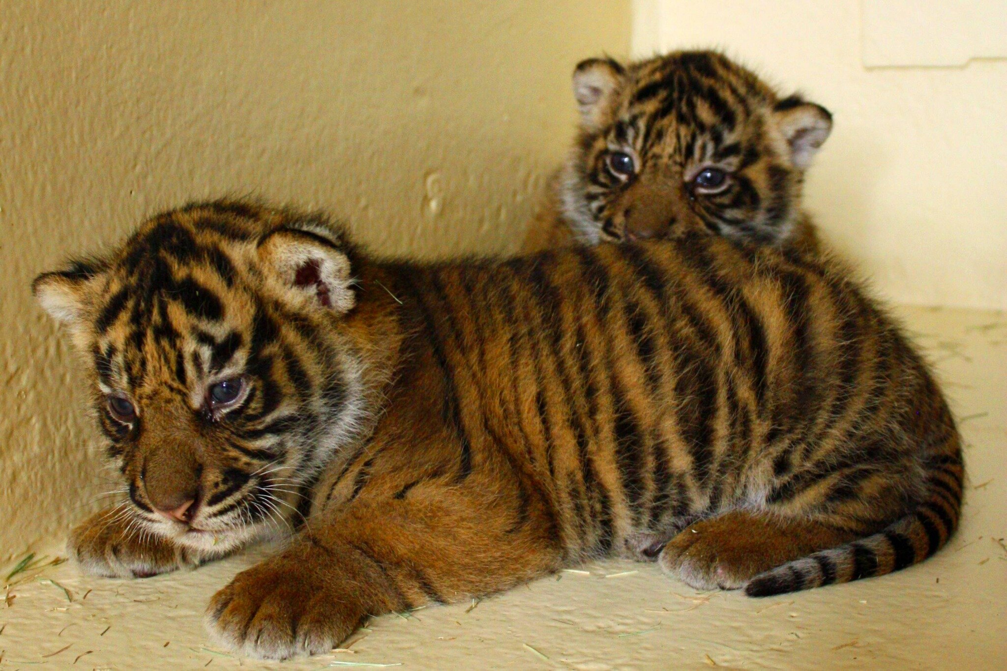 """""""Welcome to the Jungle, we've got tiger cubs. We've got something something something that rhymes with tiger cubs."""" http://t.co/e53o6w43"""