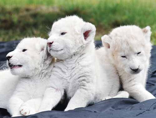 Crías de león blanco. Adorables. http://t.co/QxL1IF7H3V