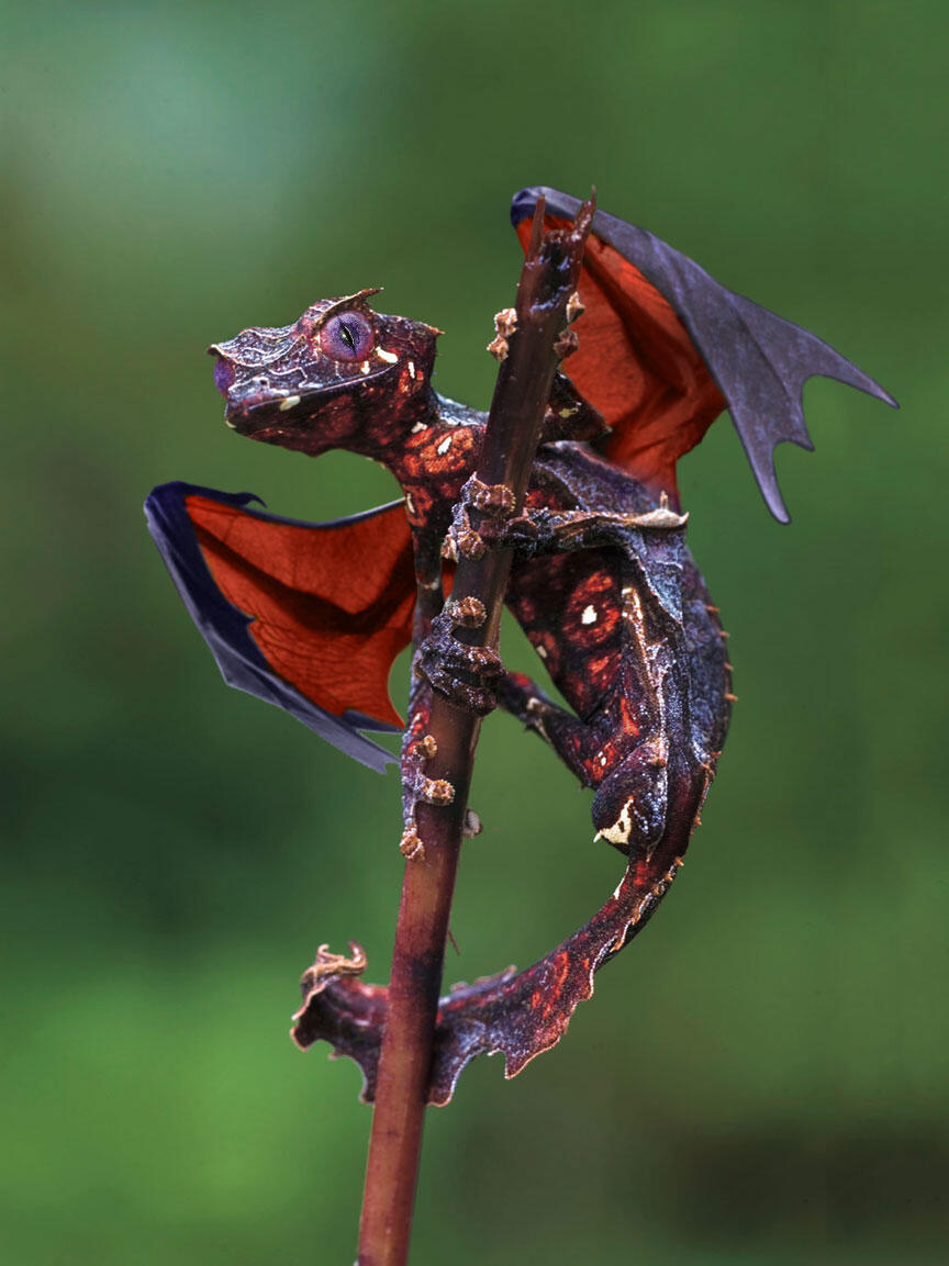 Photo of the day: The satanic leaf tailed gecko with flying fox wings. http://t.co/JsuMeVequc