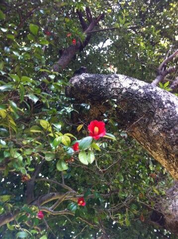 つい先日、とある神社で出会った椿。 http://t.co/KKsMzCIbE5