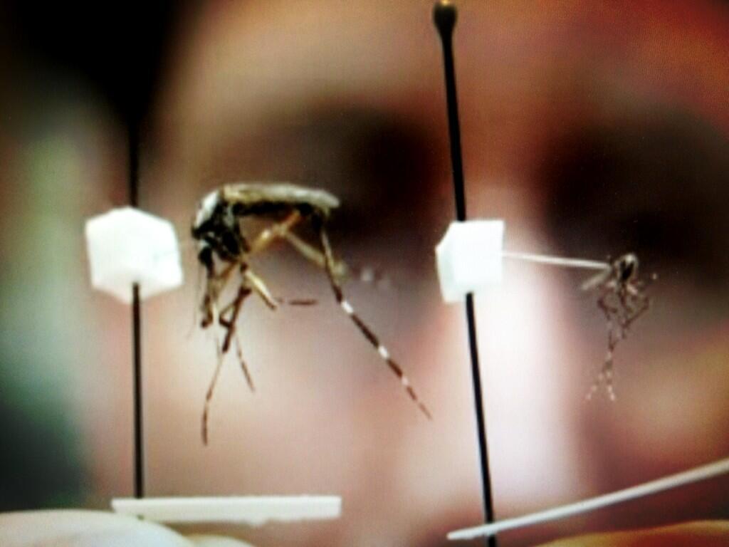 Gallinipper Mosquito Bite 39 Mega Mosquito 39 Gallinipper