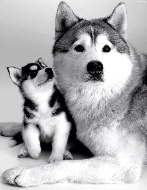 Retrato de familia de Huskys. http://t.co/CgQnp3zLVr
