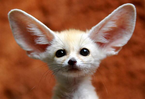 Baby desert fox. http://t.co/CVeH2n5GOy