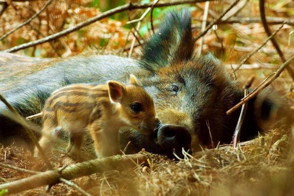 Wild boarlet, exploring. http://t.co/6k8rBXivLh