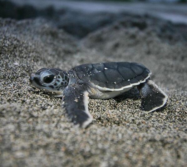 Baby sea turtle is also cute! http://t.co/UIF7ddlUuc
