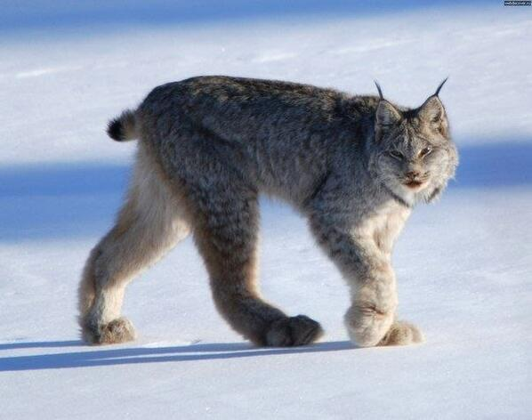 Канадская рысь http://t.co/705xyUMFQh