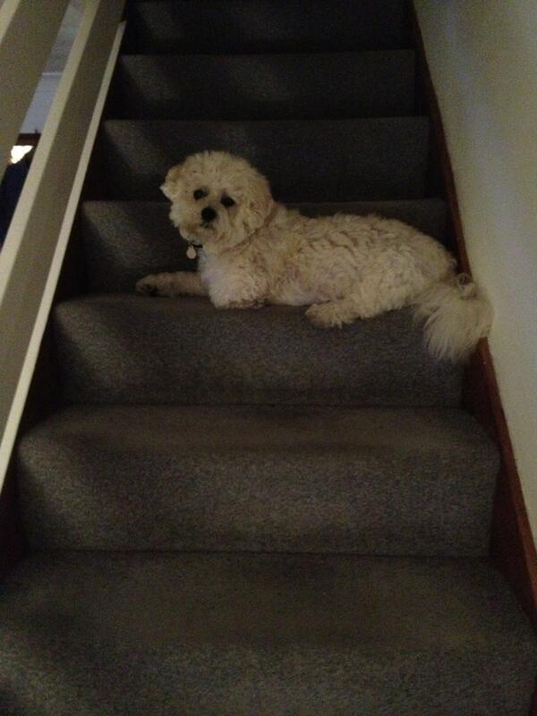 Harpo, valiantly trying to sleep on the stairs, despite being too big... http://t.co/5TzvuXVjFY