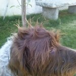 This is my man. Zeus Manchu Anand. Wire haired pointing giffon. 8yrs