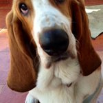 Mojo babu Akkineni is a basset hound 11 months old. A bundle of love and joy. Here r more pics of this handsome guy.