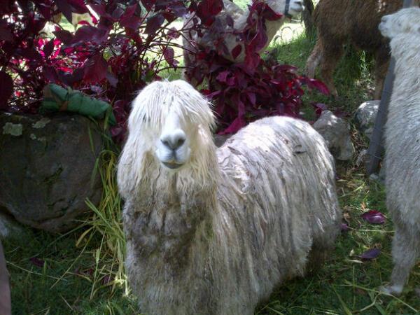 Yris Quijada (@yqdelvalle): No creen q esta LLama es una ternura? Cuidemos y protejamos a todos nuestros animalitos @Porla_PazAnimal http://t.co/t0JGG3P49L