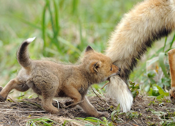 Fox kit, playing follow the leader. http://t.co/XPDFrlxJtZ