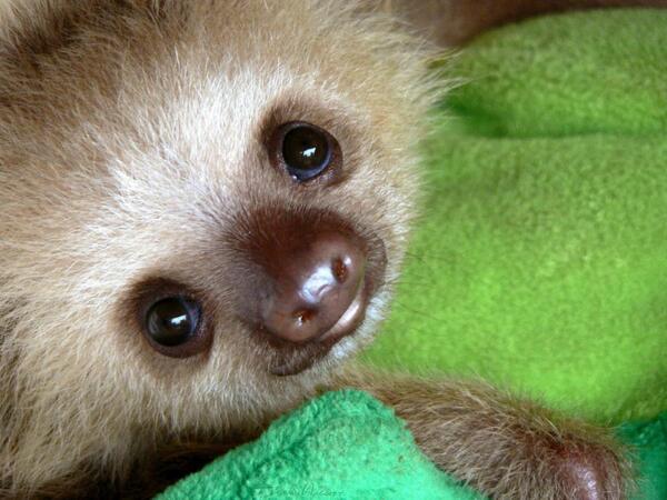 Cute baby sloth! http://t.co/7qGYxxJrAR