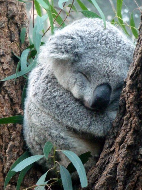 Koala, napping. http://t.co/IYtS61Drv6