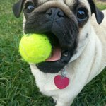 RT @jimjaxn100: @bgtennisnation Louis the pug