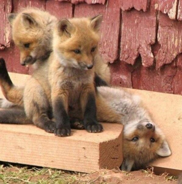 Fox pups, chillin' http://t.co/sVfAzNG27z
