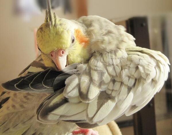 オカメらしい羽毛がなかなか綺麗に撮れているので送ります byささみさん #オカメインコ