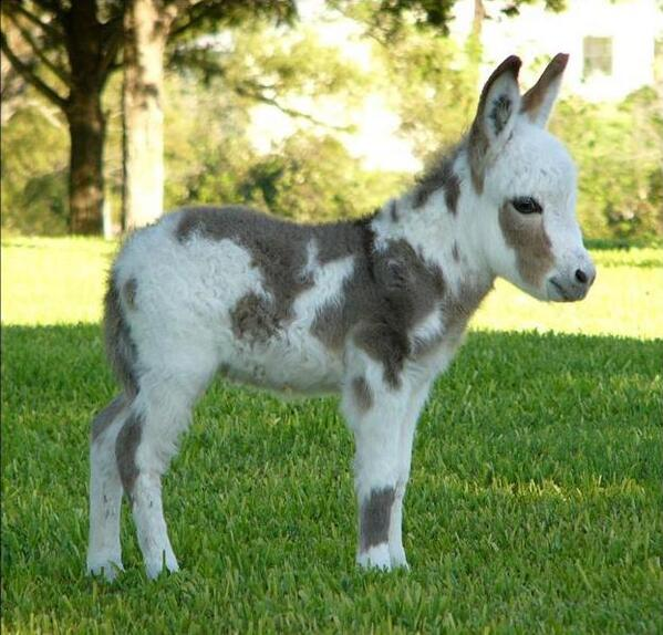 The tiniest donkey, chillin' in the park. http://t.co/sZ4pkOPyL6