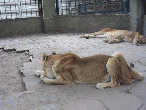 via @cesar_06x: Que tristeza! Leones de San Juan de Colon en Tachira, se mueren de hambre, estan abandonados. http://t.co/i3A35hk5Q7