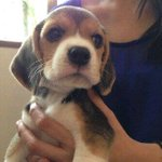 45 days old Beagle pup is  up for adoption in Mumbai. Pls call Noor at +919820057072 if interested