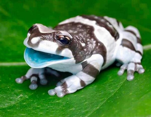 Meet the Amazon Milk Frog http://t.co/rqW1WITOPR