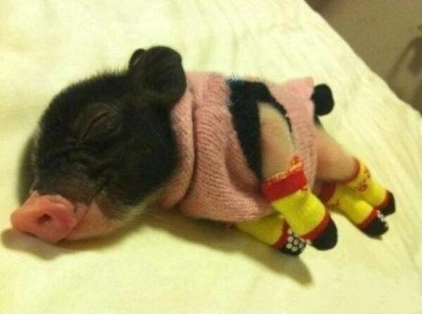 Piglet wearing a sweater and little booties, napping. http://t.co/X2pICkz6Ii
