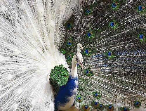 A peacock that is half albino! It looks like it had an accident with a paint pot:) #Nature http://t.co/Ef83aPd9S8