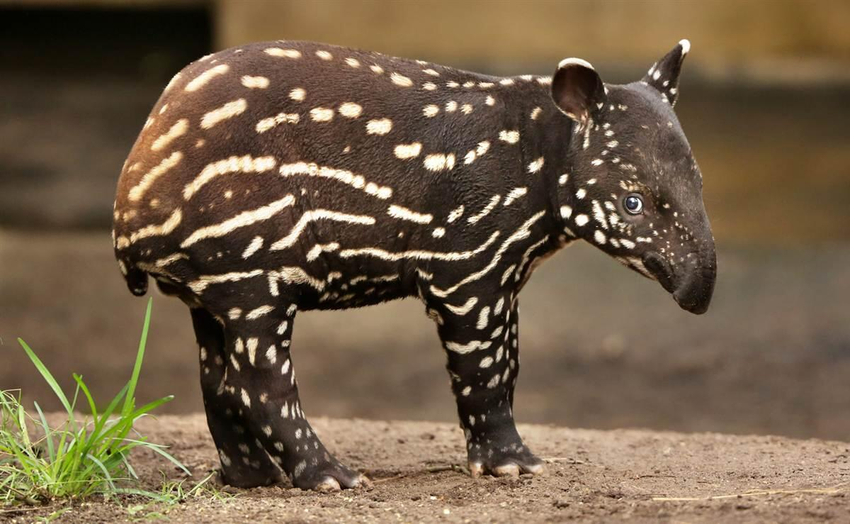 So yeah, baby tapirs are pretty adorable. http://t.co/WDy51k2gT7