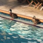 Nice to see the the ducks cooling off in the pool on the hot day at the NBTA