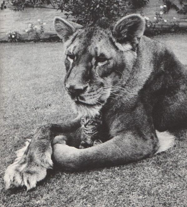 Photo of the day: A lioness holding a kitten http://t.co/h0yUJFrojA