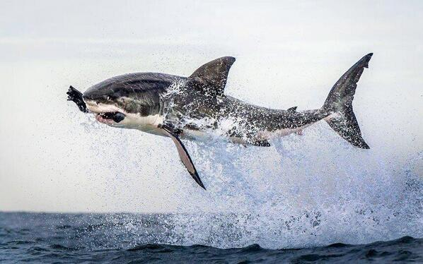 RT @ThatsEarth: Great White shark leaps out of the water clutching a Seal in it's jaws. http://t.co/txLCpQpRme