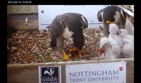 @Nottswildlife Family Portrait of the Peregrines with both Parents feeding. Screenshot from tonight http://t.co/6ffEacNJqC