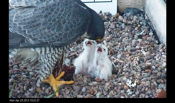 @Nottswildlife they all look healthy and adults doing a great job.  Screen shot taken tonight http://t.co/mHzuLzJayE