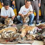 RT @debbiedoo22: Look at these bastards ,murdering beautiful Tigers ,scum of the earth !!!