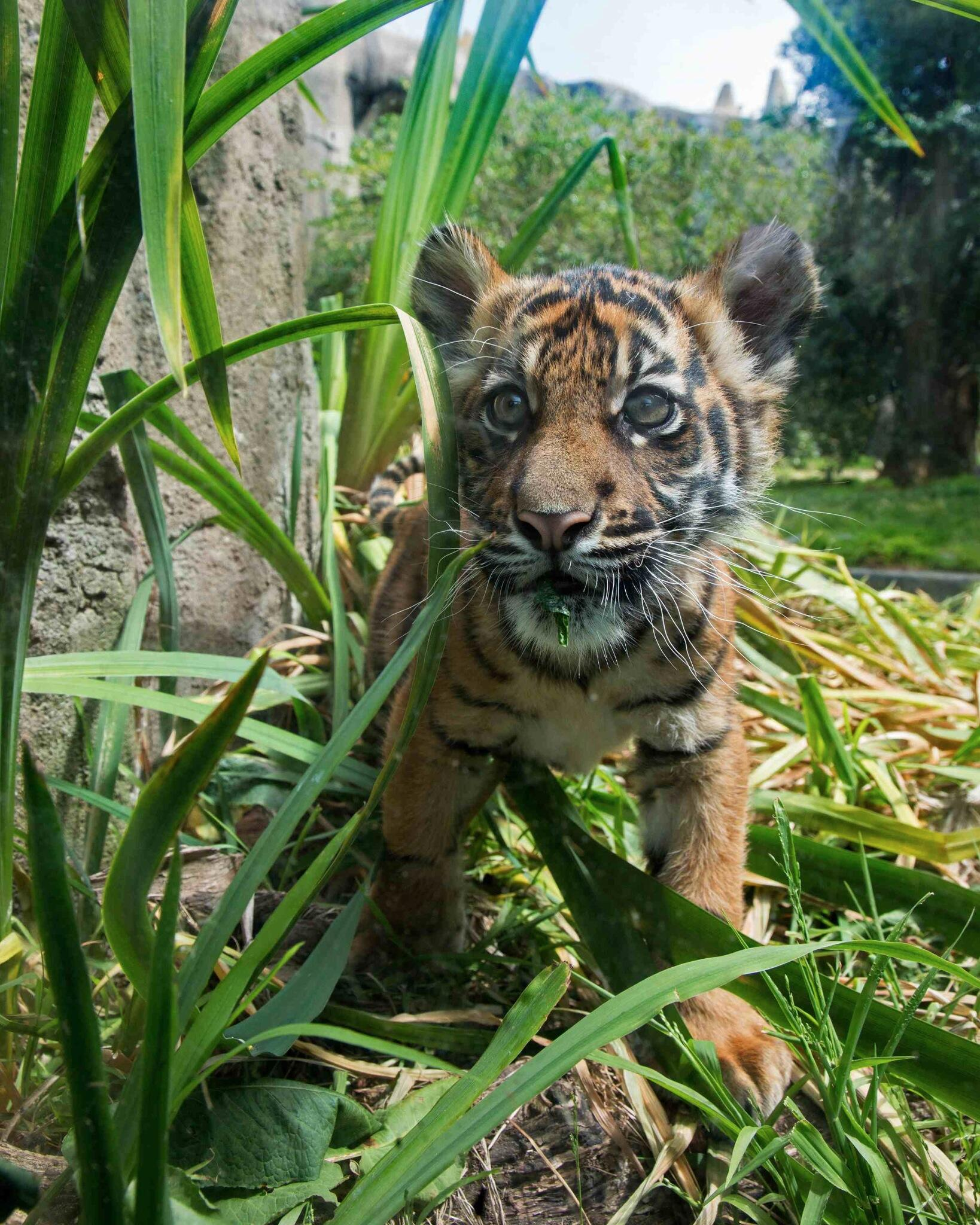 Missing our little tiger cub?  Here's a great new close up shot. Enjoy! #sftigercub #squee #adorable http://t.co/DxiT0Pcd3V