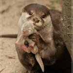 Awwwwwww RT @ThatsEarth: An Otter showing you its baby.