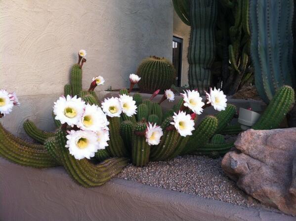 Arizona cactuses in bloom... http://t.co/xWXihjrRL9