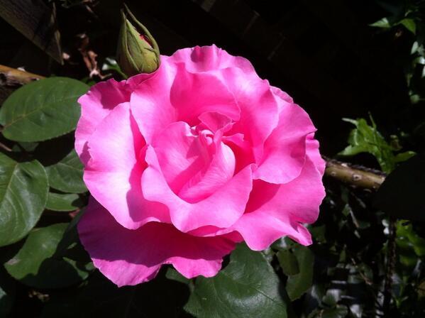庭のマッカートニーローズが今年も咲きました。手入れしてくれた友達のおかげです。 http://t.co/QIDROn1aXO