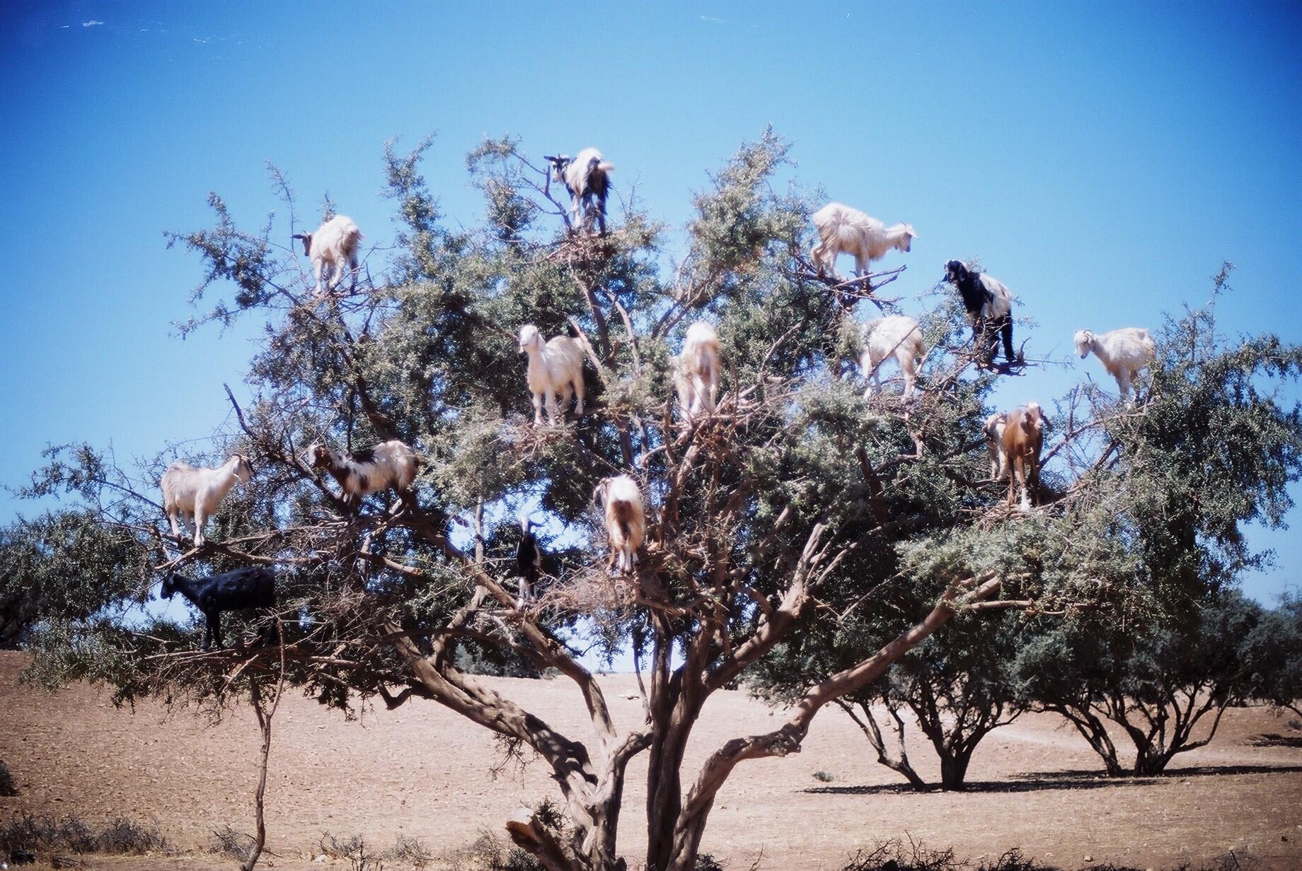 Bodes não dão em árvores. Estes animais se alimentam das folhas já que no Marrocos não há muito pasto disponí http://t.co/dDkRfxjgg2