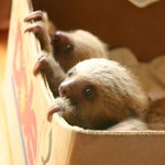 GAAAASP RT @EmergencyPuppy: #SlothBox http://t.co/kGz845ItKC
