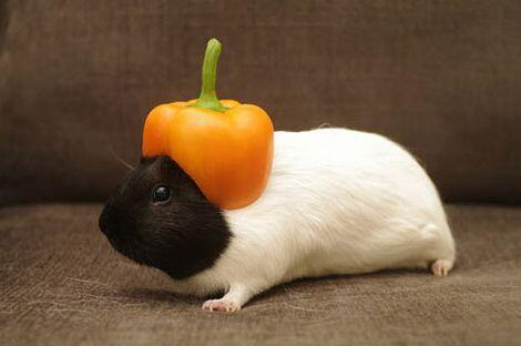 """RT @BristowMagic: """"@CuteOverload: Now Starting At QB For The Boston Bell Peppers… http://t.co/RNznpzDGEV"""" @chickpealover @Katiemorris1992"""