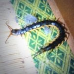 Oh no! How did you kill it? #giantJapanesebugs RT @_bradramos: First mukade Ive ever seen in my apartment. No!!!! http://t.co/O7rw3aRHVX