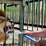 A man offers water to a lion in a zoo in Solapur, Maharashtra | http://t.co/fZWRgrGZer -