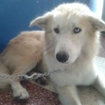 &quot;@MASCOTASDECALLE: En adopcin un hermoso lobo. #Caracas por favor ayuda con RT http://t.co/x1ORxiZNIW&quot; Es hermoso! Miren su carita! ^^
