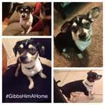 Need a forever home for Gibbs! Chihuahua mix/1yr/male/crate trained/neutered - DM me if ur interested! #rescue #dfw http://t.co/GI2POJNYiI