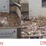 OMFG! MT @TrentUni: Look how much our #nottsperegrines have grown in just over 2 weeks! @Nottswildlife http://t.co/K37TGN31fc