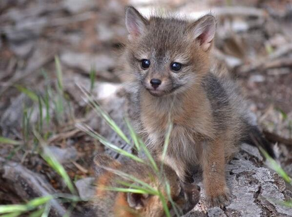 Gray fox pup in a forest. http://t.co/oKutNvv5ky